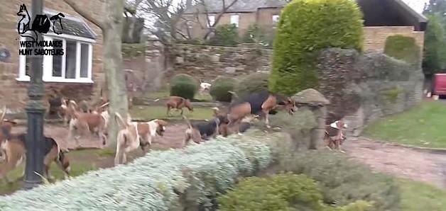 Cães de caça invadem cidade atrás de raposa  (Foto: Reprodução/DailyMail)