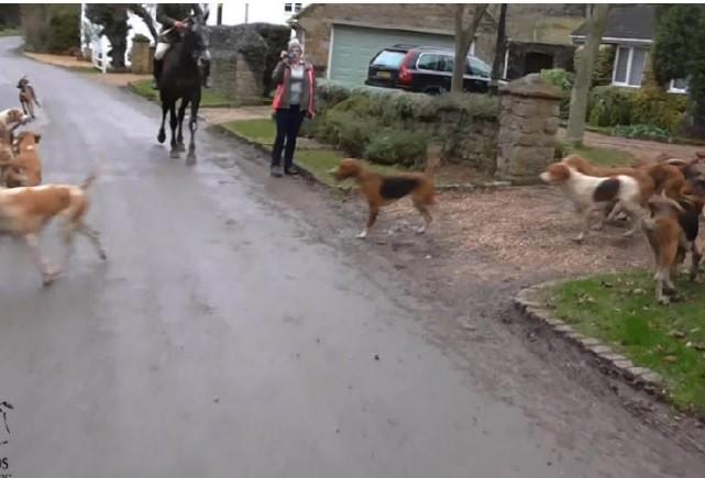 Cães de caça invadem cidade atrás de raposa  (Foto: Reprodução )
